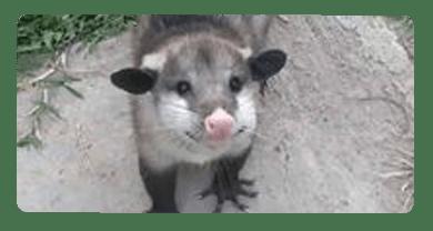 Possum Removal  Altona