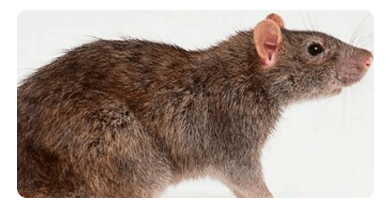 Rat and Mice Control Altona